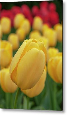 Tulipa Golden Parade 1 Metal Print by Jenny Rainbow. All metal prints are professionally printed, packaged, and shipped within 3 - 4 business days and delivered ready-to-hang on your wall. Choose from multiple sizes and mounting options. Art Prints For Home, Fine Art Prints, Got Print, Any Images, Tulips, Fine Art America, 1, Rainbow, Printed