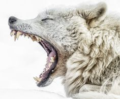 """beautiful-wildlife: """" Yawning Wolf by © Jean-Francois Beaudry Wolves Vulnerable to Contagious Yawning """""""