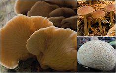 293 beste afbeeldingen van ZM - How To Mushrooms in 2018