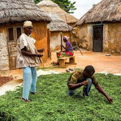 Moringa Farmers- Rural Ghana. Moringa leaves are loaded with vitamins, minerals, essential amino acids, and more.