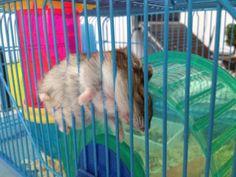 hamster-imgur