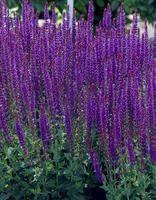Loistosalvia Blaukönigin Loistosalvialla on upean pensastava kasvutapa. Se on loistavan värinsä ansiosta parhaimmillaan erilaisissa kukkaryhmissä, mutta sopii erinomaisesti myös ruukkuistutuksiin.   Kukinta: kesä-syyskuu Kasvukorkeus: n. 30 cm Kasvupaikka: aurinkoinen, puolivarjoinen Talvenkesto: kestävä