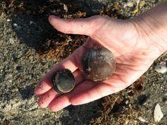Seabeans found on Florida beach.