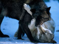 Members of the Ambassador Wolf Pack of the International Wolf Center bite and tussle in the snow. The center aims to educate the public about wolves, confident that as human appreciation of the species grows, so too will the wolf's chances of survival.