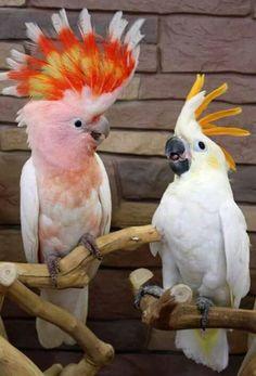 two 2 cockatoo birds on branch head feathers fanned out,  Prabha Watwe , prabhawatwe@yahoo.com  2016