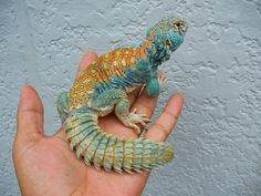 Red-back Cobalt blue UROMASTYX