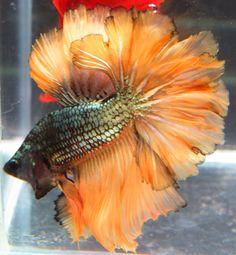 copper orange rosetail.