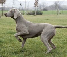 The Weimaraner is a centuries old breed from Germany. They are pointers and retrievers that possess many talents.  The Weimaraner is a sleek and elegant medium-large dog with a signature gray to silver coat. This hard working, noble hunter is extremely active and energetic, very friendly and quite intelligent.