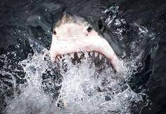 Jaws Photo by Tom Thomson — National Geographic Your Shot Color Photography, Amazing Photography, Tom Thomson, Amazing Nature Photos, Shark Art, Great White Shark, Mundo Animal, Shark Week, Wild Nature