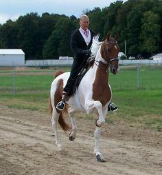 Pinto Saddlebred horse