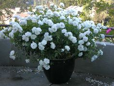 Iceberg Roses planted in a pot...beautiful way to soften a Mediterranean Landscape