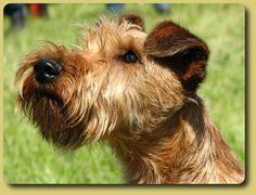 Image result for irish terrier bilder