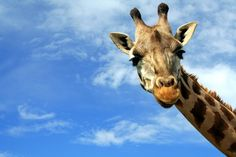 Healthy giraffe shot, dissected and fed to lions at Copenhagen zoo ...