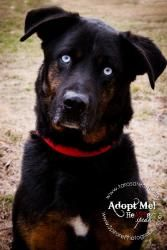 "ADOPT ME, LOVE ME, PLEASE!!!!Sinatra: Rottweiler Mix, is an #adoptable Dog; in Independence, MISSOURI. If you are ready to be loved unconditionally, and you are ready to be have a True Best Friend FOREVER, this Doggy is waiting for YOU!! Please find your new Best Friends at the shelters! DOWN WITH THE PUPPY MILLS!! BAN THE  ""LITTLE PET SHOPS OF HORRORS""! It is time to DO RIGHT!"