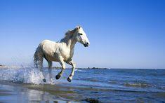 Camargue White Horse Www Pixel4k Com Camargue White