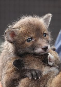 (  Red Fox Cubs (by Peter Hedger)