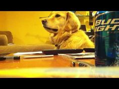 Not sure whether this is sponsored by Budweiser, or whether the maker of the video *wants* it to be picked up by Budweiser, but this Golden Retriever apparently loves guitar!