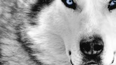 siberian husky | Siberian Husky wallpaper 1366x768