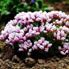 Lavandula Angustifolia, Blue Pearl, Vegetables, Flowers, Plants, Walled Garden, Gardening, Menu, Balcony