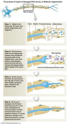 process of a repair of damaged pns nerve