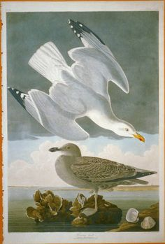 "Herring Gull: The Birds of America by John James Audubon. Vol. III, Pl. 291. London, 1827-1838, (Elephant Folio). From the John James Audubon ""Bird's in America Collection"" in the Rare Book and Special Collections Division at the Library of Congress. For the full work see:  http://hdl.loc.gov/loc.pnp/cph.3b52377"