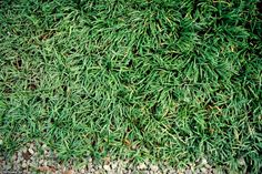 Tired of maintaining your lawn? Replace it with one of these great groundcovers. Dwarf Mondo Grass ~ With dense dark green blades, drought-resistant and evergreen dwarf mondo grass grows only 2 to 4 inches tall, in both sun and shade.