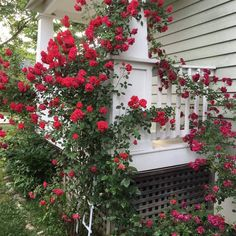 Big Red Barns and an Old Yellow Farmhouse from Coutry Blessed- beautiful rose bu. Big Red Barns an Beautiful Flowers Garden, Beautiful Roses, Beautiful Gardens, Roses In Potatoes, Red Flowers, Red Roses, Big Red Barn, Red Farmhouse, Planting Roses