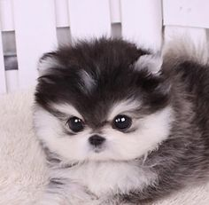 Teacup puppy with husky colors!  Or this one.....:-)