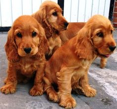 """Check out our web site for even more information on """"cocker spaniel"""". It is actually an outstanding location to read more. Perro Cocker Spaniel, Cocker Spaniel Anglais, Black Cocker Spaniel, Spaniel Breeds, Dog Breeds, Vida Animal, Sweet Dogs, Cockerspaniel, English Cocker"""