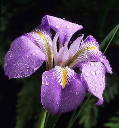 Iris unguicularis Fotografia de John Glover, uno de los primeros y de los mas importantes fotografos de jardin del Reino Unido