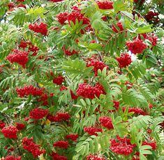 Marjapihlaja Burka punertavat kiiltävät lehdet ja punaruskeat makeat marjat, loistava ruska. Vaatimaton, tavallinen kalkittu puutarhamaa, ei lannoitusta tai leikkausta. 1,5 - 2 m, kukkii kesäkuussa, I-IV. Taimipihasta.