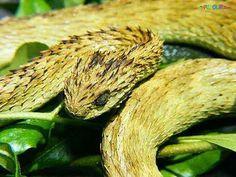 venomous snakes | Venomous Snakes
