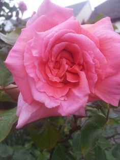 A beautiful English rose, unknown rose taken by Fionnoula Rose