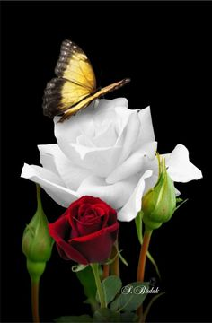 A butterfly will beautify the beauty of a rose flower. Yes, it is beautiful! Thank you sweet Becky. Flying Flowers, Butterfly Flowers, Beautiful Butterflies, Beautiful Roses, My Flower, Beautiful Flowers, White Roses, Red Roses, Hearts And Roses