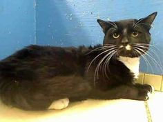 BLACKY is an adoptable American Shorthair Cat in New York, NY.  ...
