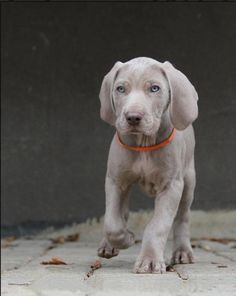 Blue Weimaraner puppies  wouldn't Gunnar be so mad? Description from pinterest.com. I searched for this on bing.com/images