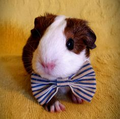 My guinea pig, Mudslide, with a bowtie.
