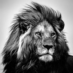 Featured wildlife shot of the day ✧ Photographe Animals Beautiful, Cute Animals, Tiger Artwork, Lion Photography, Lion Drawing, Lion Love, Lion Tattoo Design, Lion Wallpaper, Lion Pictures