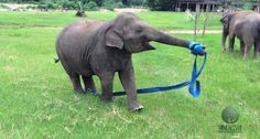 See the video ... This Elephant Has The Time Of Her Life Playing With A Ribbon. Her Pure Joy Is Wonderful To Watch!