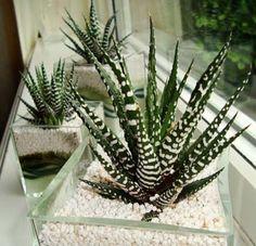 Haworthia (H. attenuata and H. fasciata) - Zebra Cactus
