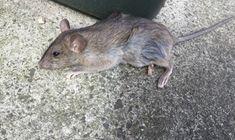 Rat Elimination Melbourne