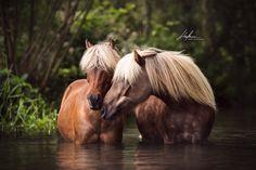 Zwei Classic Pony Stuten stehen im Wasser und berühren sich zärtlich an der Nase   Pferd   Bilder   Foto   Fotografie   Fotoshooting   Pferdefotografie   Pferdefotograf   Ideen   Inspiration   Pferdefotos   Horse   Photography   Photo   Pictures