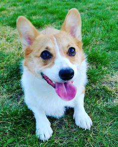 Loving the summer sunshine!  #corgis #corgilove #corgilife #corgiaddict #leelathecorgi #corgstagram #corgtacular #welshcorgi #pembrokewelshcorgi #puppy #puppies #puppylove #cute #cuteness #cutenessoverload #dogs #instagramcorgis #corgisofinstagram #dogsofinstagram #dogstagram #photooftheday #shortlegs #코기스타그렘 #개스타그렘 #웰시코기 #강아지 #コーギー #子犬 #柯基犬 #小狗