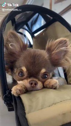 Teacup Chihuahua Puppies, Cute Baby Puppies, Super Cute Puppies, Long Hair Chihuahua, Micro Teacup Puppies, Baby Animals Pictures, Cute Animal Pictures, Cute Baby Animals, Cute Small Dogs