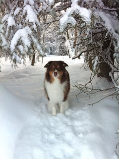 Sublime 100+ Amazing Australian Shepherds https://meowlogy.com/2017/03/28/100-amazing-australian-shepherds/ Should you be attempting to avert a dog with lots of of odor, keep away from breeds with excessive folds and floppy ears. Every dog needs to be traine...