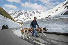 Saint Bernard dogs and a staff member of the Barry Foundation, Manuel Gaillard, are on the way to the Great St. Bernard Pass (Col du Grand-Saint-Bernard) after returning from the winter quarters in Martigny, Switzerland, on June 17. The dogs will spend the summer on the pass and return to Martigny by the end of the year. (Jean-Christophe Bott/European Pressphoto Agency)