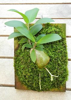 Click the image to open in full size. Hydnophytum moseleyanum mounted on board.