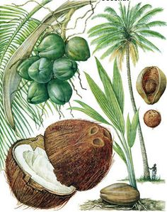 palm trees with coconuts - Google Search