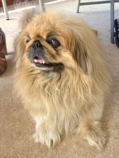 """From Ronit in the Graphics Department: George, our Pekingese is 10 years old. """"It was love at first sight. I was working in a pet shop for five years, Many dogs have come and gone, but the moment I saw George, there was something about him... I had to have him for myself!  We have been together ever since."""" #efl #franchise"""