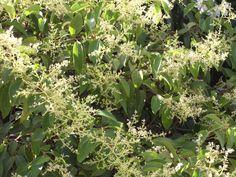 Λιγούστρο Μελισσοκομικα Φυτα